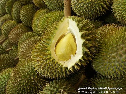 الدوريان -Durian نباتات كريهة الرائحة